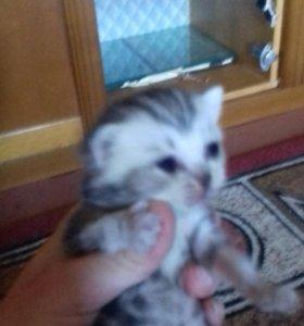 Продаюца котята