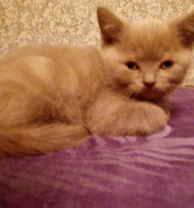 Продается шотландский котик!!!