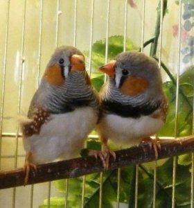 Амадины на попугаев