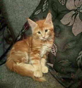 Продам замечательного котенка породы Мейн-Кун,