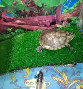 Черепаха с черепашником
