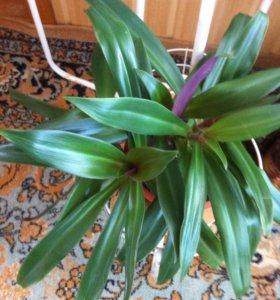 Рео пестрое (комнатный цветок)