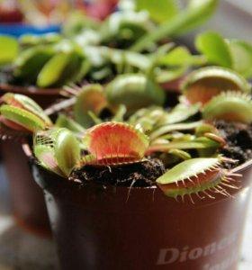 Венерина Мухоловка, хищные растения