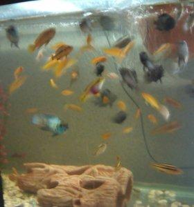 Аквариум с рыбой. Цихлиды