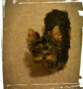 Продам щенка йоркширского терьера