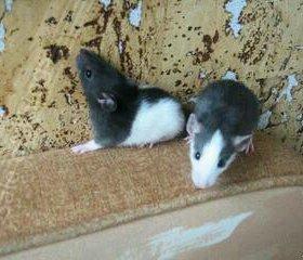 Милые крысята