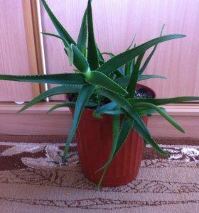Агава зеленая (комнатный цветок )