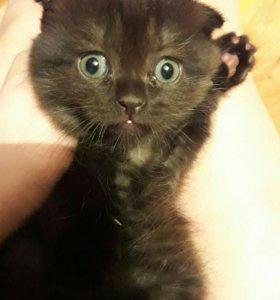 Котята вислоухие шотландец