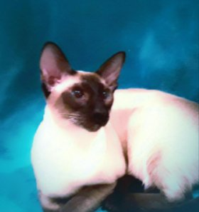Сиамский котик