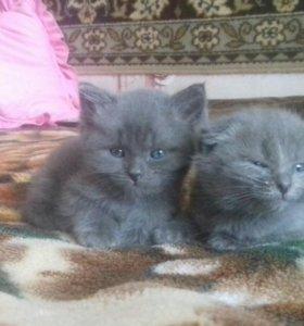 Продам двух котят
