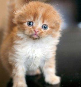 Хайлед фолд - рыжий котик