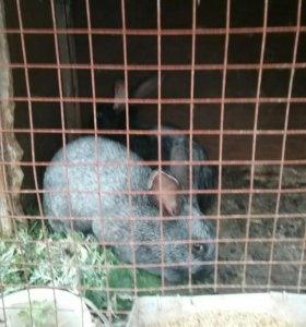 Деве крочихи чёрная беремена