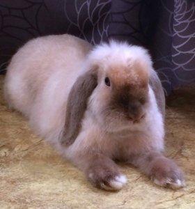 Карликовый барашковый кролик (сатин) + клетка