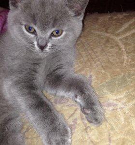 Продаю британского котёнка