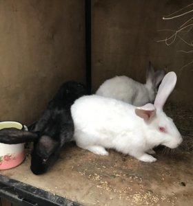 Распродаю кроликов крупных пород