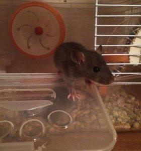 Крысята дамбо в дар