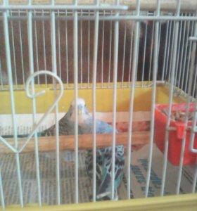 Продам красивую пару попугайчик с клеткой.