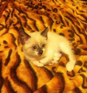 Тайский котёнок(самец) 1.5 месяцев.