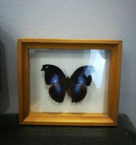 Тропическая бабочка Юкунда, Перу