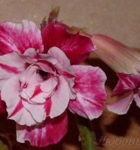 Сортовой привитый Адениум, комнатное растение.