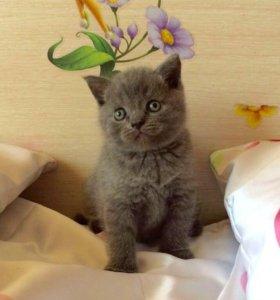 Шотландский или британский котенок