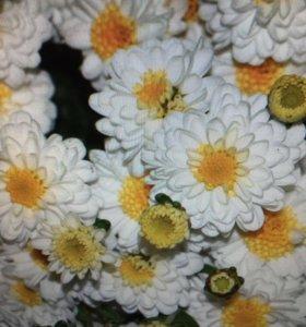 Хризантемы 50 сортов