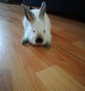 Сочно! Продам молодого кролика, ручной.мальчик