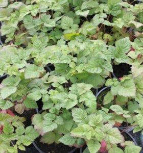Саженцы растений (хвойные, плодовые, лиственные)