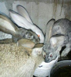 Живность ( кролики) звоните по номеру: 89237997600