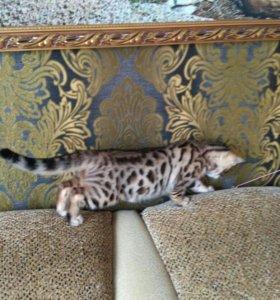 Котята леопардики