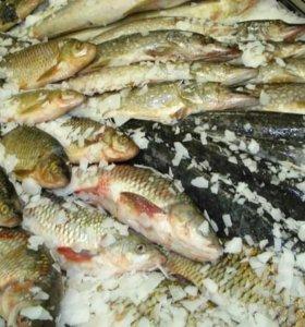 Рыба ( свежемороженая,живая)
