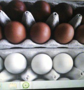 Инкубационные яйца марана