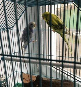 Волнистые попугайчики (2шт)