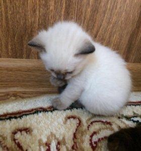 Котята Сиамской пушистой балинезийской кошки