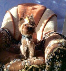 Щенки Йоркширского терьера: 2 кобеля