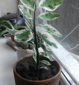 Комнатное растения