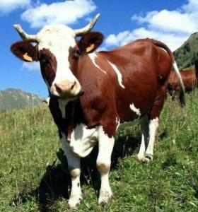 Корова первотелка