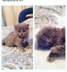 Котятки британские
