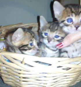 Котята бенгалики ждут заботливых хозяев