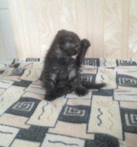 Кот вислоухий