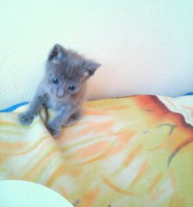 Котенок серый дымчатый