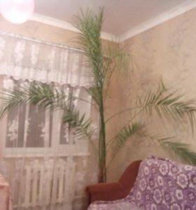Пальма большая можно для кабинета домой