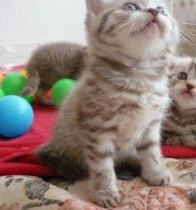 Шотдандские котята.
