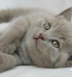 Британские котята и кошки