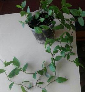 Традесканция мелколистная,комнатное растение