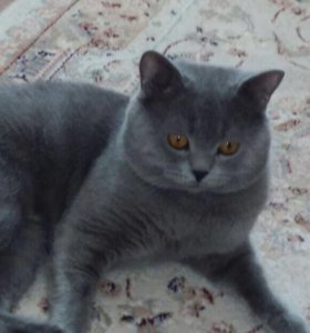 Супер кот шотландский