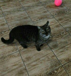 Шотланская кошка в добрые руки