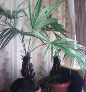 Пальму Ливистона