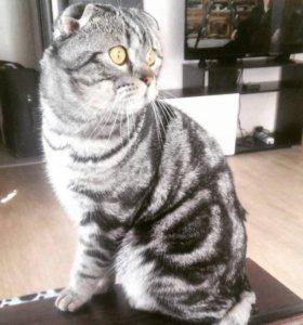 Приглашаю на вязку-за красивыми котятами!