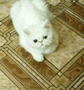 Продам котёнка перса